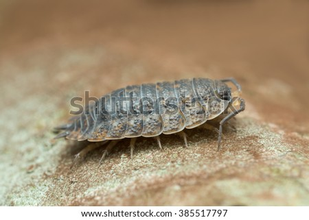 Woodlouse, copyspace in the photo