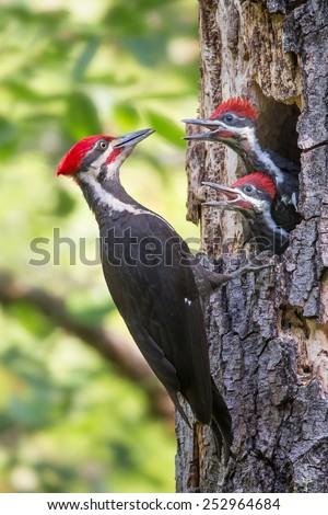 Woodpecker - stock photo