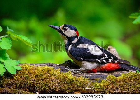 Woodpecker at work (Great Spotted Woodpecker)