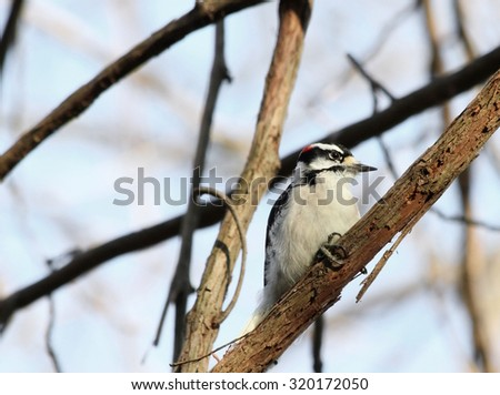Woodpecker clinging to a vine.