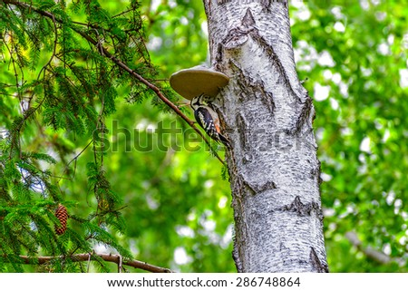 Woodpecker sits on a trunk under a woody excrescence - stock photo