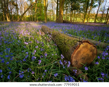 woods covered with a blanket of wild bluebells at sun set