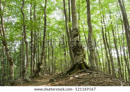 woods of beech into Theth National Park, Albania