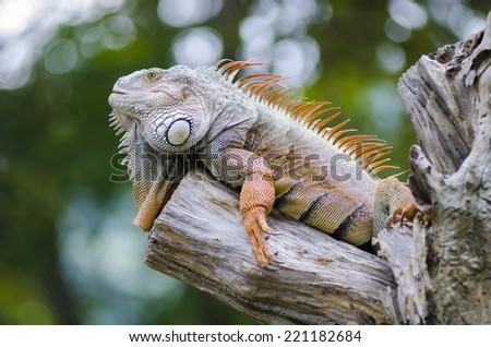 Woody Dragon. Green iguana on twisted tree branch. - stock photo