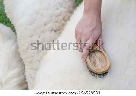 Wool brushing at a sheep's back