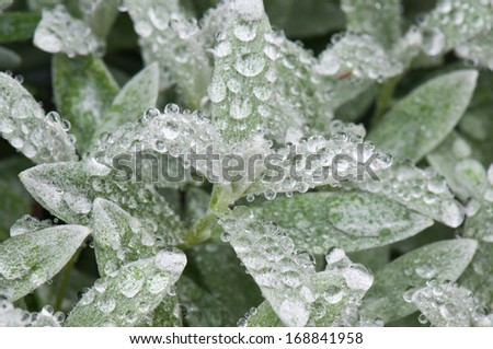woolly hedgenettle covered with raindrops - stock photo