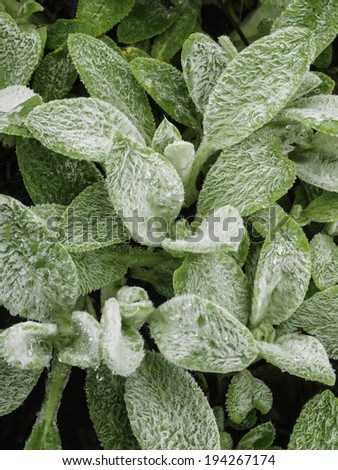 Woolly leaves of lamb's tongue (binomial name: Stachys byzantina 'Cotton Ball'), also called lamb's ear , an ornamental plant native to Armenia, Turkey, and Iran, with rain drops - stock photo