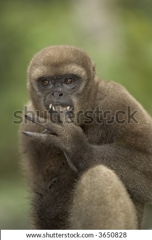 Woolly monkey in amazon rainforest