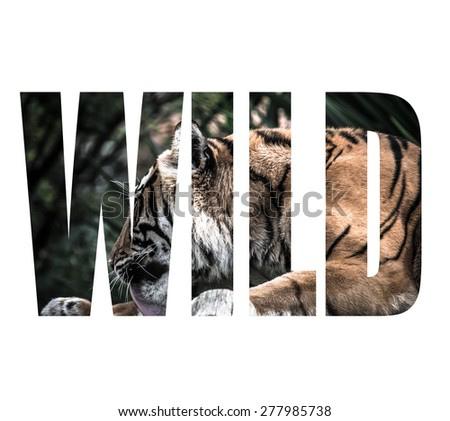Word WILD over Adult tiger lying on wooden boards and licking his paw. Toned. - stock photo