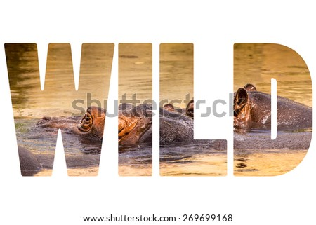Word WILD over African hippo in their natural habitat. - stock photo