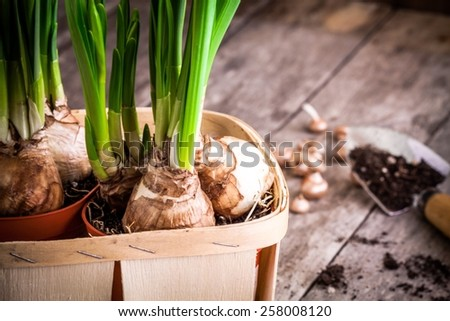 work in the garden: preparation for planting narcissuses closeup - stock photo