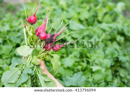 work in the garden. young woman collects radish harvest - stock photo