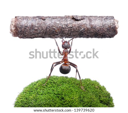 worker ant formica rufa holding heavy log, isolated on white background - stock photo