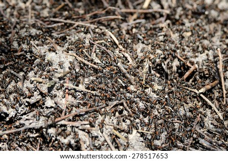 Worker ants crawling in the anthill in the woods