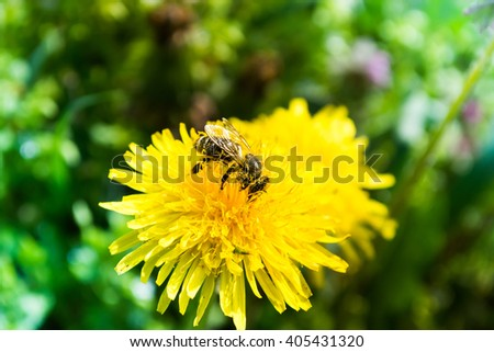 Worker bee on yellow flower with blurred background - stock photo