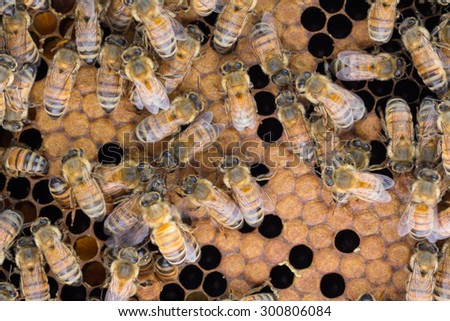 Worker bees sharing food, called trophallaxis, on a frame with capped and uncapped brood. - stock photo