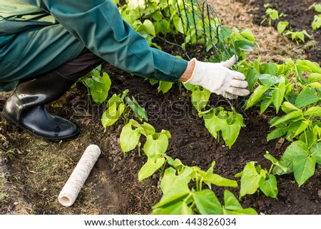 Worker cares about bean plants , is making a fence for it;  vegetable  beds in the farmerâ??s farmland,  ecological agriculture for producing healthy food  concept