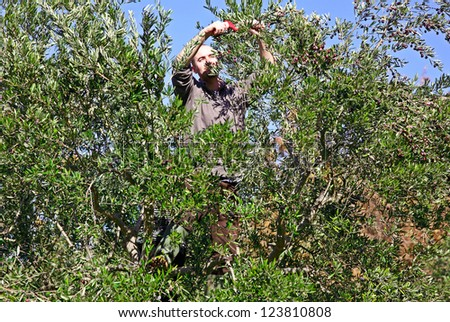 worker harvest from olive tree in italy - stock photo