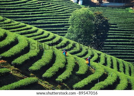 worker harvesting tea in plantation