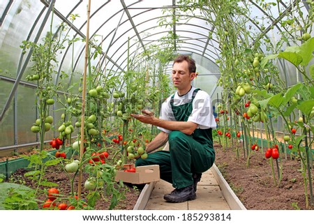 Worker harvests tomatoes in the greenhouse of transparent polycarbonate