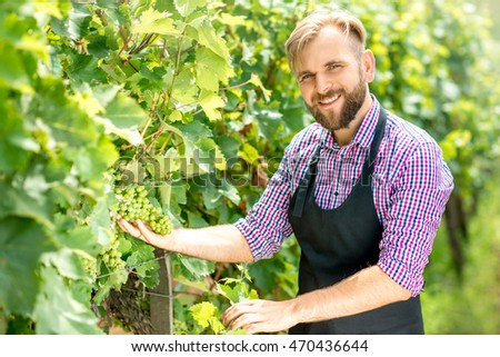 Worker in checkered shirt and apron taking care about grapes on the vineyard. Taking care for the grape harvest