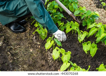 Worker is weeding bean plants in the garden, vegetable  beds in the farmerâ??s farmland,  ecological agriculture for producing healthy food  concept