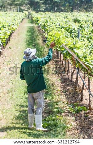 Worker work in vineyard or grape field on daytime - stock photo