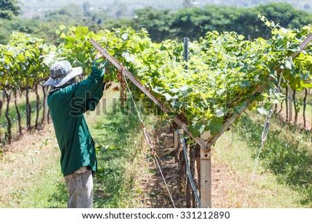 Worker work in vineyard or grape field on daytime-1 - stock photo