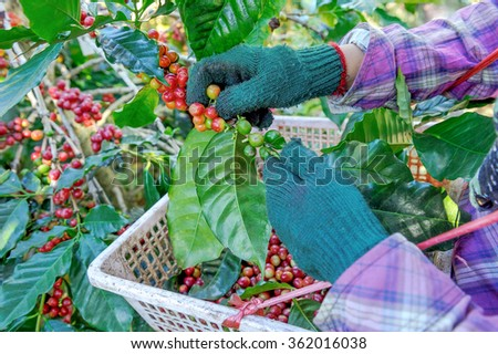 Workers are harvesting coffee beans. - stock photo