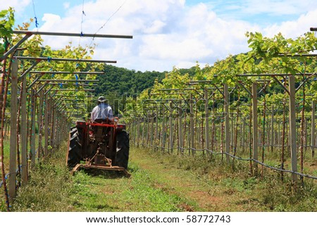 Workers are using tractor mower in the vineyard - stock photo