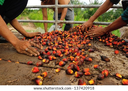 workers pick up  palm oil fruit from truck.