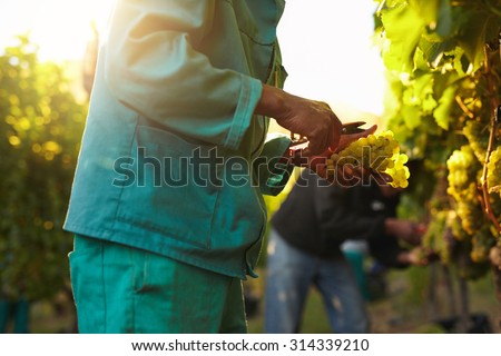 Workers working in vineyard cutting grapes from vines. People picking grapes during wine harvest in vineyard. Focus on hands of the worker. - stock photo