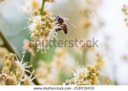 working bee collects flower nectar from longan flower - stock photo