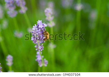 working bee on the  lavender - stock photo