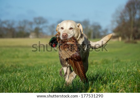 Working Dog - stock photo