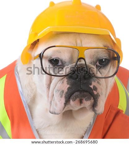 working dog - bulldog dressed up like construction worker on white background - stock photo