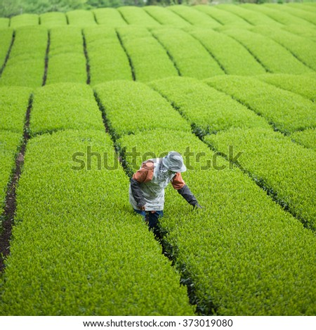 Working in green tea plantation in Japan