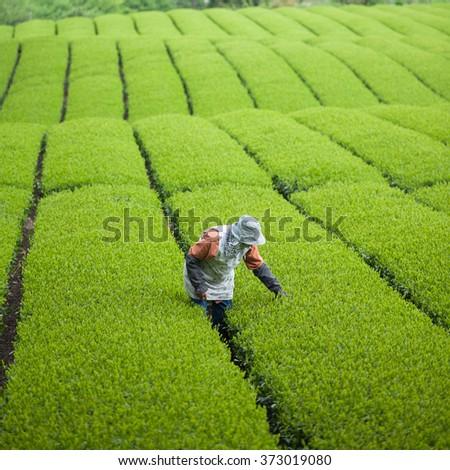 Working in green tea plantation in Japan - stock photo