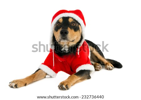 Working kelpie in Santa outfit, isolated on white  - stock photo