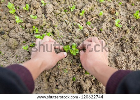 working with young lettuce sapling in the garden - stock photo