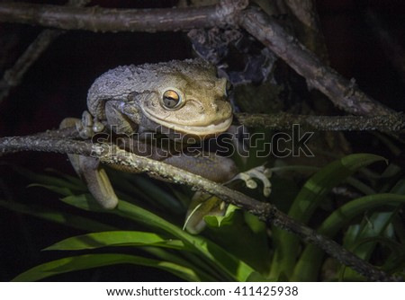 World's Biggest Cuban Tree Frog ( Osteopilus septentrionalis ) at night  in natural habitat - stock photo