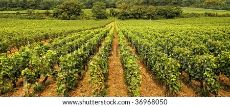 Worldwide famous Vineyard in Burgundy, France (wide view)