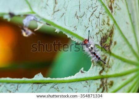 Worm, caterpillar-caterpillar eat the lotus leaf. - stock photo