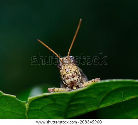 worm's eye view of  brown  yellow grasshopper standing on leaf ; selective focus at eye with dark green blur background - stock photo