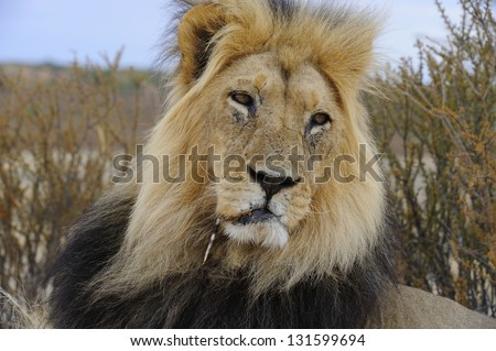 Wounded King. A male African lion (Panthera leo) with an injury caused by interaction with a porcupine. A quill  is lodged deep in his jaw - stock photo