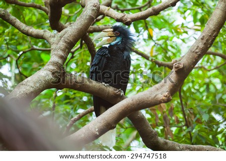 Wreathed Hornbill (Bar-pouched) bird on tree usually fine in Thailand and Malaysia