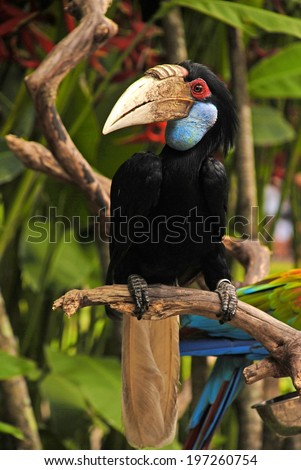 Wreathed hornbill on the branch in rainforest - stock photo
