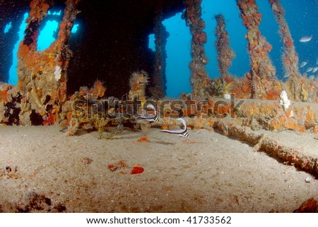 wreck dive and spotted drums - stock photo