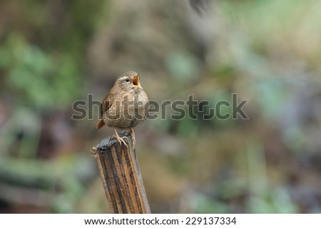 Wren singing - stock photo