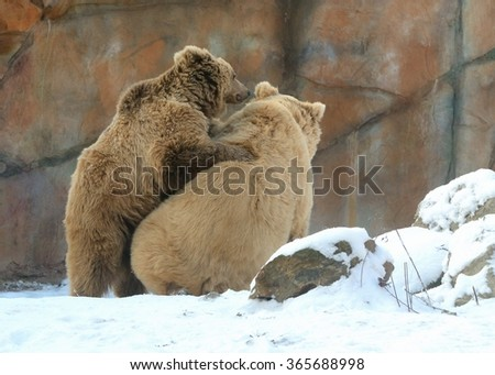 Wrestling of Himalayan brown bears (Ursus arctos isabellinus) sometimes confused or mistaken with Yeti